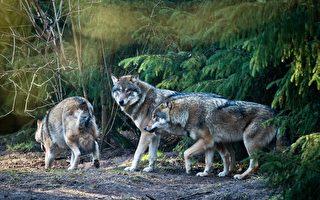 野狼出沒!維州居民要小心