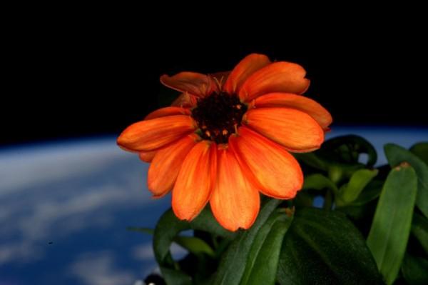 2016年1月17日,美国太空人凯利(Scott Kelly)在推特上宣布,国际太空站(ISS)上有棵百日菊已经开花,还上传1张有着13片花瓣的橘色花朵照片。这是第1朵在无重力太空环境生长的花。(AFP)
