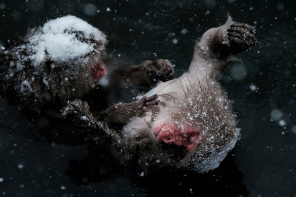 2016年1月18日,日本长野县山内镇地狱谷野猿公苑内,世界唯一专属雪猴取暖的露天温泉,许多游客专程造访该园区观赏此一奇景。(YASUYOSHI CHIBA/AFP)