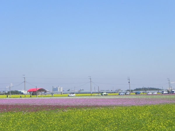 在台18線高鐵大道3公里處的花田區,舉目望去,黃澄澄的油菜花海,以及紅的、紫的、白的波斯菊花海,爭奇鬥豔,美不勝收,吸引許多民眾停車駐足圍觀、拍照,驚豔不已。(蔡上海/大紀元)