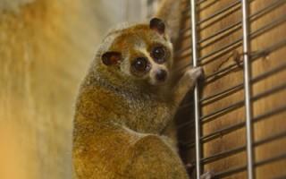 夜行性小猴子 晚上看得清都靠大眼睛