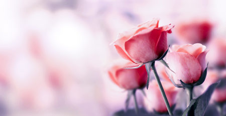 情人节的玫瑰花。(fotolia)