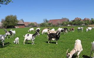 山羊受僱為公園除草 因大吃特吃被開除