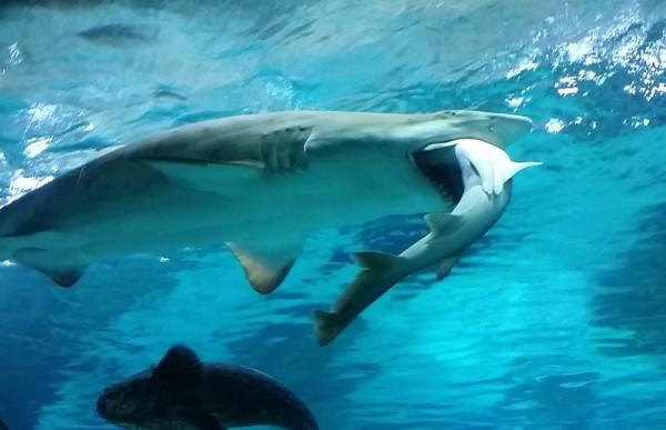 2016年1月29日,韩国首尔COEX水族馆,一只7.2英尺的雌沙虎鲨很不寻常的吞吃了同水族箱中一只3.9英尺5岁的雄公皱唇鲨。(COEX Aquarium via Getty Images)