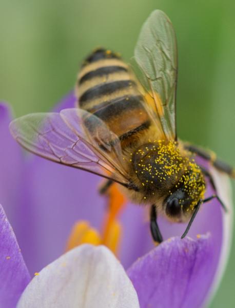 2016年2月1日,在德国西南部弗赖堡,一只蜜蜂在番红花上采蜜并收集花粉,图为全身沾满花粉的蜜蜂。(Patrick Seeger/AFP)