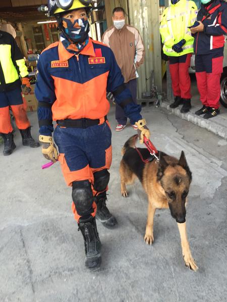 新北市唯一獲得雙證照的搜救犬「無敵」,隨著消防局趕赴臺南市地震重災區維冠大樓搜救人命。(新北市消防局提供/中央社)