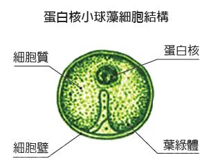 含有多種維生素、葉綠素,和獨特的小球藻細胞生長因子CGF(Chlorella Growth Factor),能夠提供人體所需的多種營養物質。(大紀元)