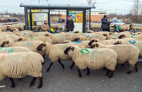 2016年2月12日,德国柏林,牧人驱赶一群约600只羊走过柏林马灿区一个公交车站,往另一个放牧地区前进,不仅如此,牧人和羊群也穿越联邦公路和铁道口。(Patrick PLEUL/AFP)