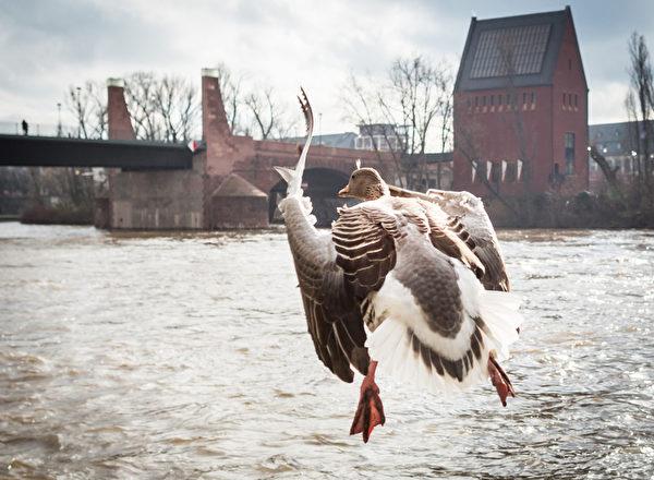 2016年2月12日,一只鹅在法兰克福美因河畔起飞。(Frank Rumpenhorst/AFP)