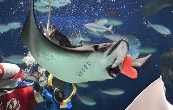 2016年2月13日,东京阳光水族馆,情人节特别活动,潜水员以切成红色心脏形的乌贼肉喂食水族箱中的鱼类。(KAZUHIRO NOGI/AFP)