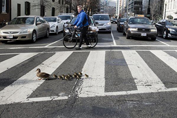 2016年2月12日,华盛顿特区,鸭子一家很规矩的走斑马线跨越H大街NW的逗趣画面。(Brendan Smialowski/ AFP)
