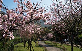 日本限定樱花首度来台 黄金博物馆园区植苗