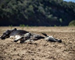 南非遭逢本世纪最严重旱灾,农民和其他灾民向政府提出诉愿,请政府调动军队因应人道危机、向海外求援以及发放水和粮食。图为一头死牛的尸体在机几近枯竭的黑乌姆福洛济河边。(MUJAHID SAFODIEN / AFP)