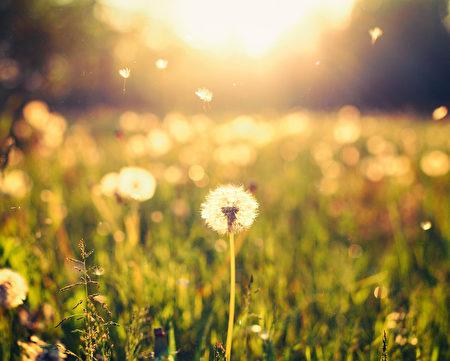 蒲公英在草地上在陽光背景(fotolia)