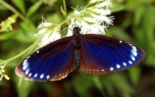 紫斑蝶越冬迁徙 感应清明之气舞奇景
