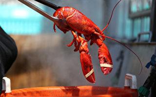 龙虾老饕有福了 海洋温暖美东龙虾季提前