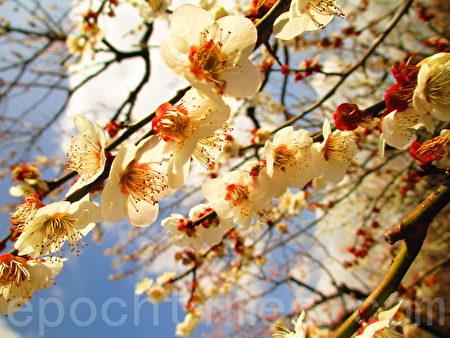 點點梅花天地春,東京鄉土之森梅園白加賀梅樹盛開。(容乃加/大紀元)