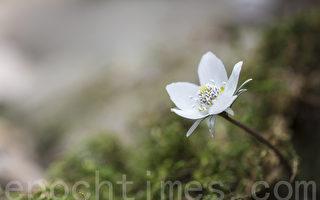 新诗:月光小花