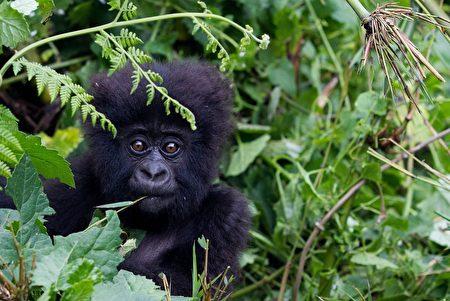 卢旺达的大猩猩幼崽(Ivan Lieman/AFP/Getty Images)