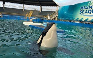 美国海洋世界宣布逐步淘汰虎鲸表演
