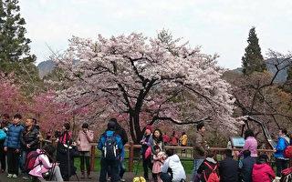 台湾阿里山花季赏樱访胜  全攻略