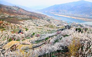 组图:韩国光阳梅花节开幕 风景如画