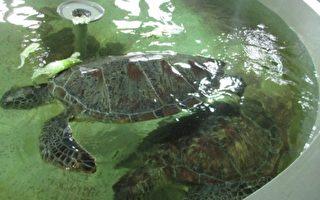 陆船东沙滥捕遭取缔 台海巡署救回绿蠵龟