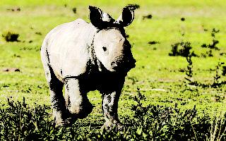 澳洲犀牛項目啟動 80頭非洲犀牛將遷移澳洲