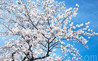 新詩:一樹春花