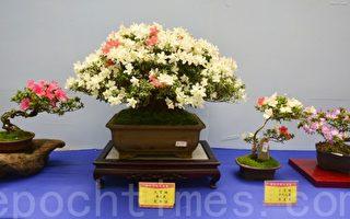 杜鹃盆栽姹紫千红 丰原皋月花季开展