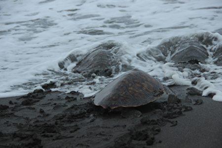 海龟返回大海怀抱。(谢月琴/大纪元)