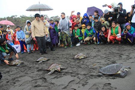 五只青少龟即将返回大海。(谢月琴/大纪元)