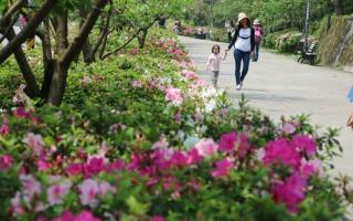 春天遲到  台北市杜鵑花終於開了