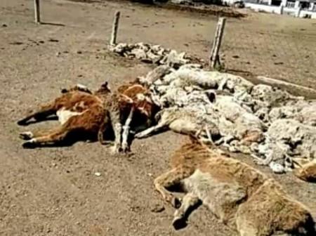 4月9日,内蒙古通辽市扎鲁特旗阿日昆都楞镇200余名牧民游行示威,抗议霍林河铝厂长期污染环境,遭警察镇压。图为大批死亡的牲畜。(网络图片)