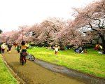 组图:清明花见正当时 野川公园樱花满开