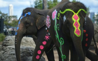 悉尼動物園泰國大象媽媽喜懷寶寶