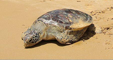 貢寮野放綠蠵龜努力重返大海。(宋順澈/大紀元)