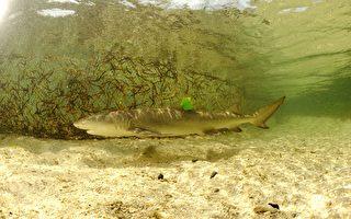 东沙环礁孕育尖齿柠檬幼鲨 具生态研究价值