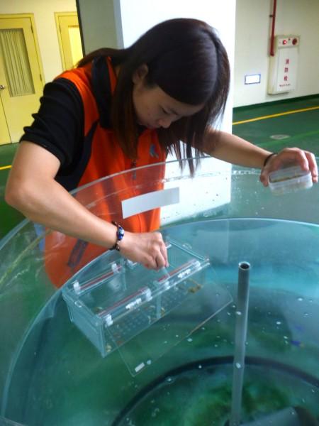 屏東海洋生物博物館復育花枝,最近新生命誕生,遊客可以在「魚你同行」活動中,瞧見小花枝的萌樣。圖為復育人員照護小花枝。(海生館提供)