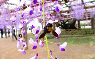 1200岁紫藤 花域700平米 奕奕然舞动春天