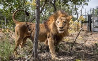 33头南美马戏团狮子获救 首度踏上非洲草原