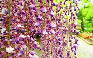 紫藤花开 日本名花紫雾盎然