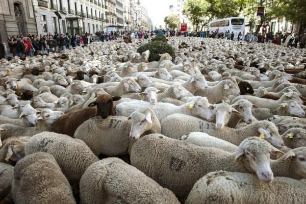西班牙每年都有牧羊人在馬德里市區趕羊,以捍衛其放牧的傳統權利。(Dani Pozo/AFP)