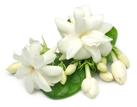 茉莉花的叶子(fotolia)