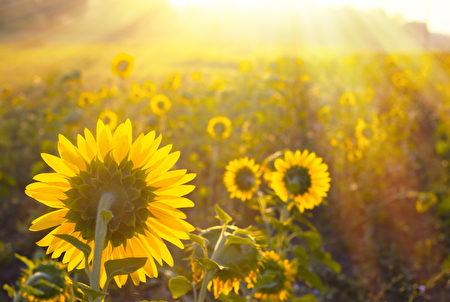 向日葵场灿烂的阳光。(fotolia)