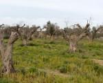 照片显示了意大利最大的橄榄油产地普利亚地区,感染了叶缘焦枯病菌的大批橄榄树。(TIZIANA FABI/AFP/Getty Images)