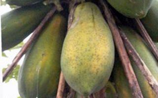 水果王国 农民张陆壹为木瓜拿到台首张身份证
