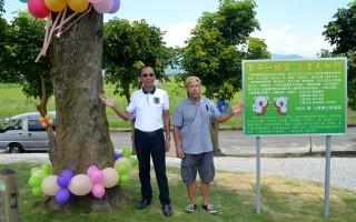 百年尤加利树 见证三星开发史
