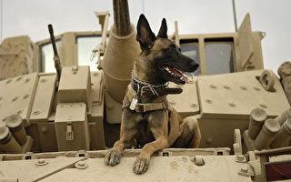 特種戰鬥犬受訓追捕盜獵犀牛者 曾助抓拉登