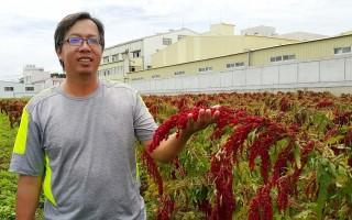 百年红藜粮食 青年返乡种植创在地价值